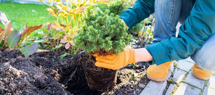 transplanting an evergreen shrub