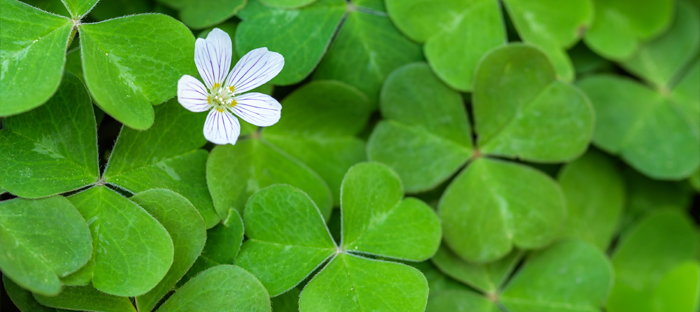 White Flower on bed of green clovers