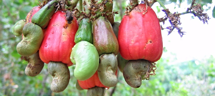 Grow A Cashew Tree Indoors That S Nuts Dave S Garden