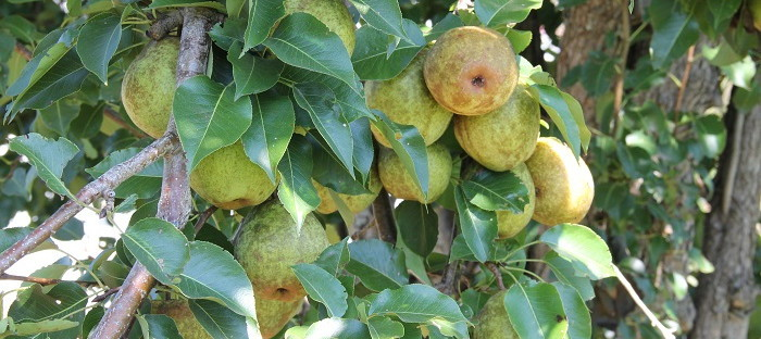 many pears on the tree