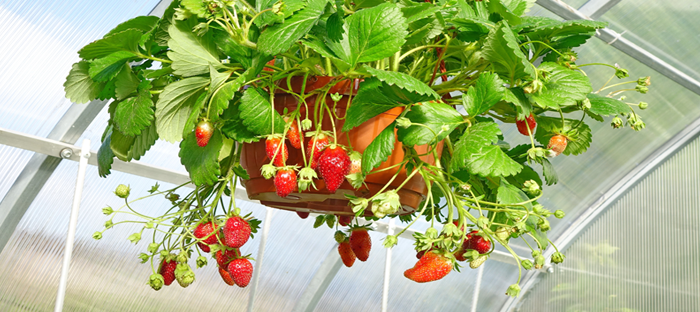Strawberry Plant in Hanging Container in Greenhouse