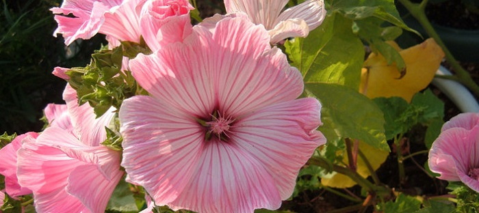 silver cup mallow