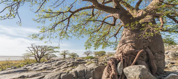Baobab growing on rocks