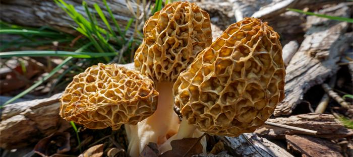 Three Morel Mushrooms Growing Outdoors
