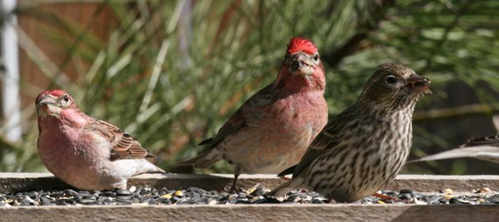 Cassins Finches in Birdfeeder