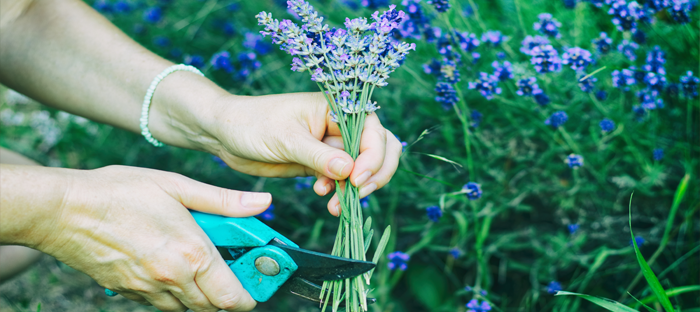 Snipping a bunch of lavender flowers