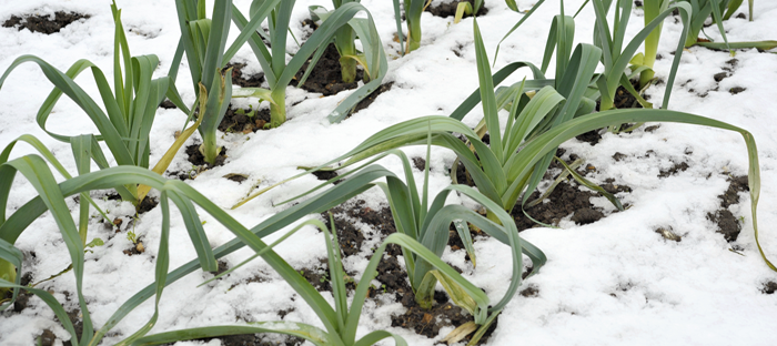 Leeks Growing in Snow