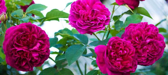 Rosa 'William Shakespeare'