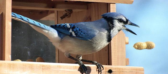 blue jay at peanut feeder