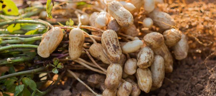 Peanuts harvested on dirt