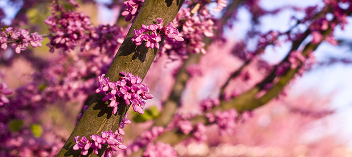 Redbud Branch with Blossoms