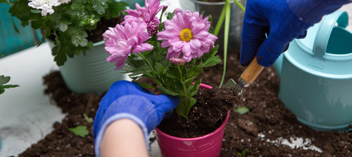 Hand and Shovel Transplanting Pink Flower from Pot