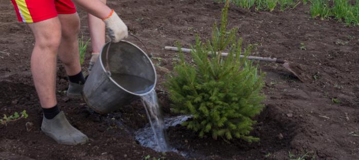 Man in Shorts Watering Spruce Tree Transplant