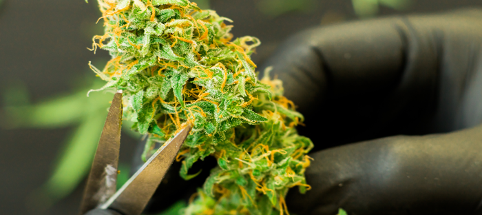 Trimming Cannabis Buds