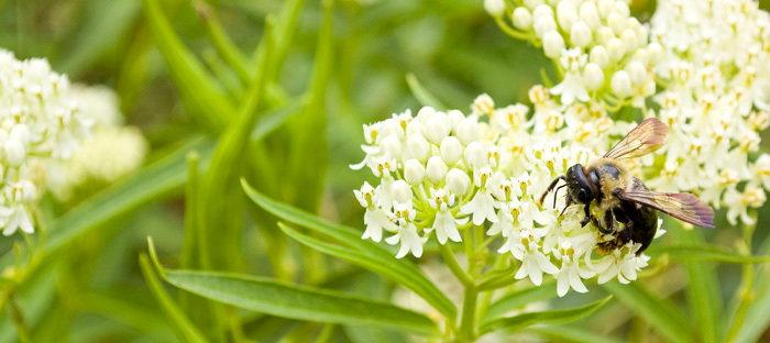 bee on milkweed flowers