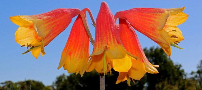 Blandfordia grandiflora