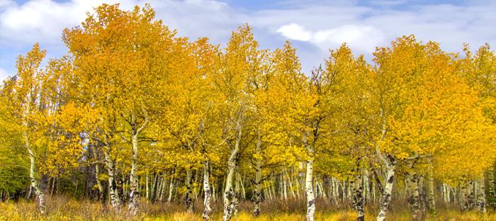 Field of Golden Aspen Trees
