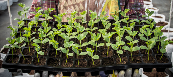 Seed Tray Sprouts
