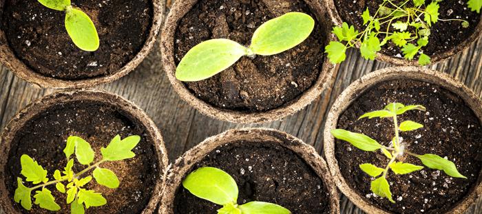 vegetable seedlings in peat pots
