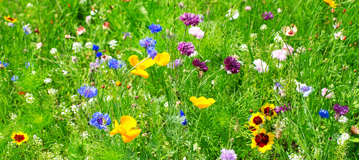 Field of Multicolored Wildflower Species