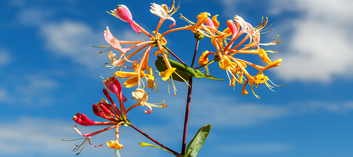 colorful honeysuckle blooms