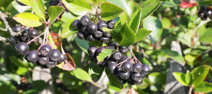 Black Chokeberry on Branch