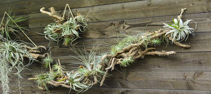 Air Plants Hanging on Wooden Wall