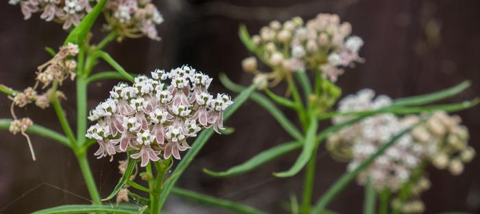 West Coast Milkweed Flowers