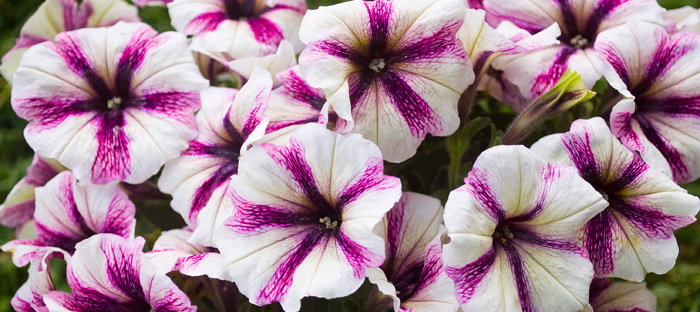 white and purple petunias