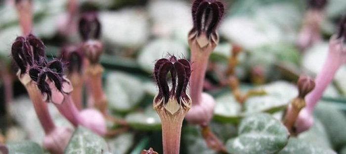 Ceropegia woodii flowers