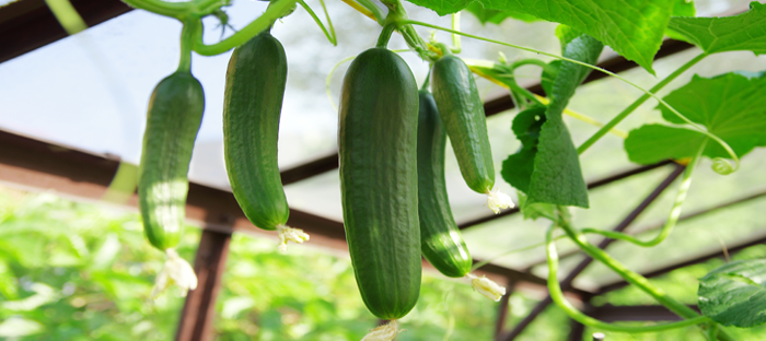 Hanging Cucumber Plants