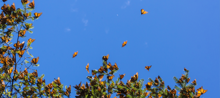 Western Monarchs on Trees Migrating Through Mexico