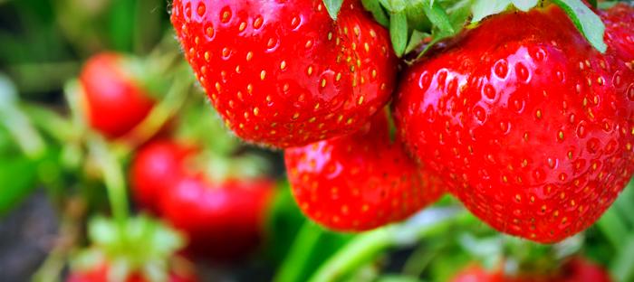 Ripe strawberries on plants