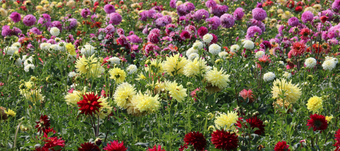 Rows of Differently Colored Dahlias