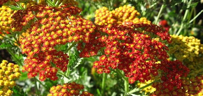 paprika yarrow plantfiles