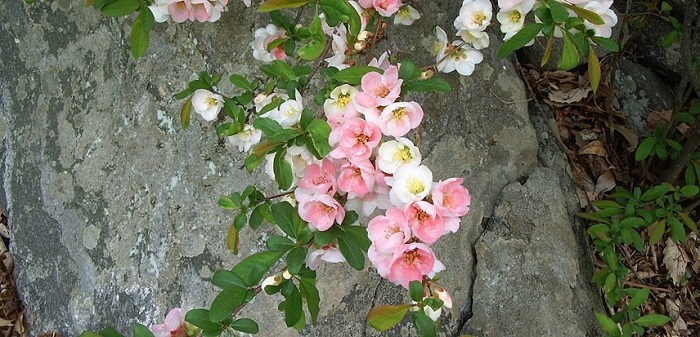 pink flowering quince