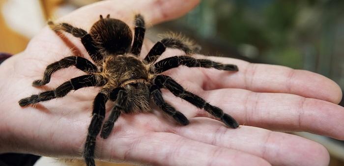 tarantula in a persons hand