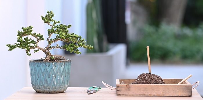 bonsai tree and tools