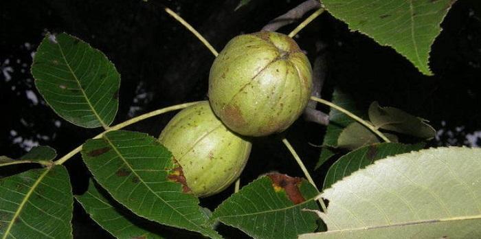hickory nuts on tree