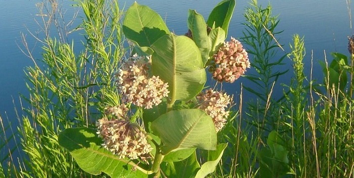 milkweed growing near pond