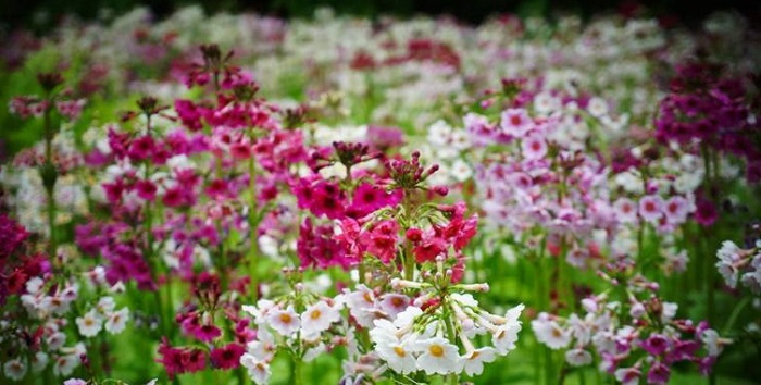 pink, white and lavender primroses