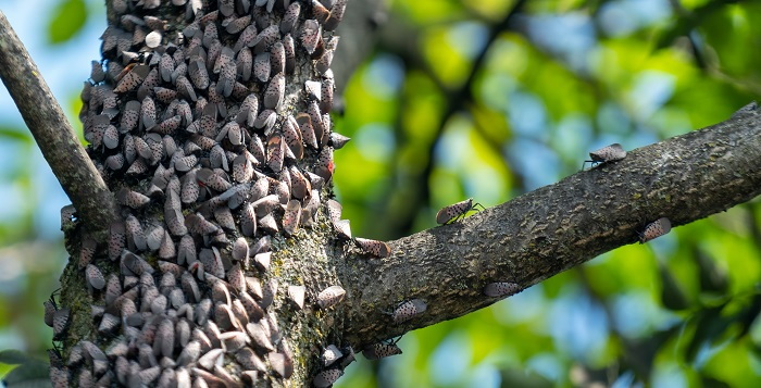 spotted lanternfly mass
