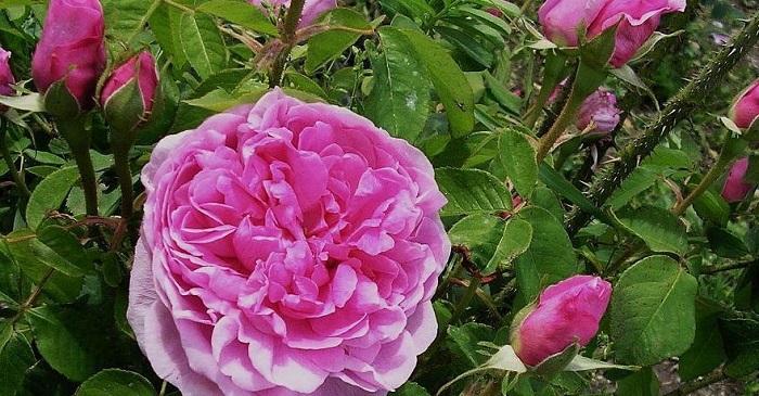 'Comte de Chambord' rose