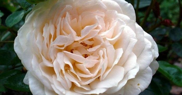 Cream Abundance rose