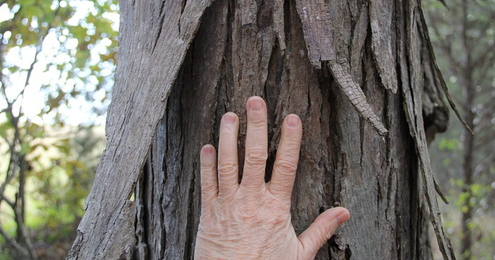 shaggy hickory bark with hand to show size