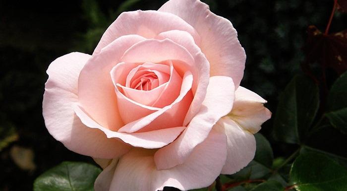 Penny Lane rose