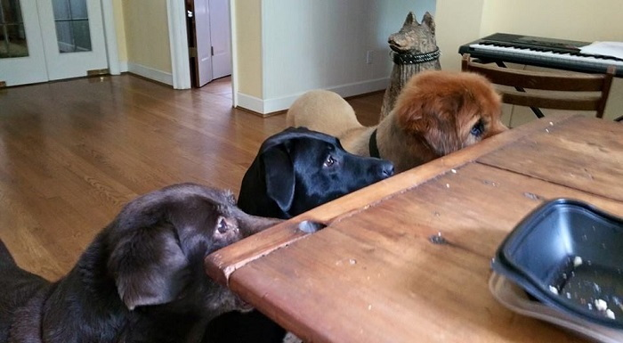 3 dogs begging at the table