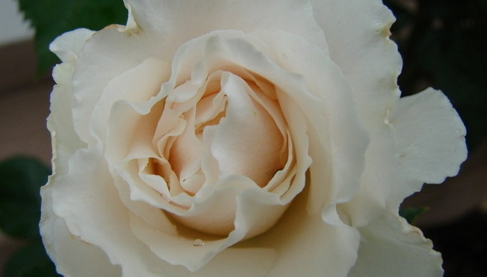 Margaret Merril rose