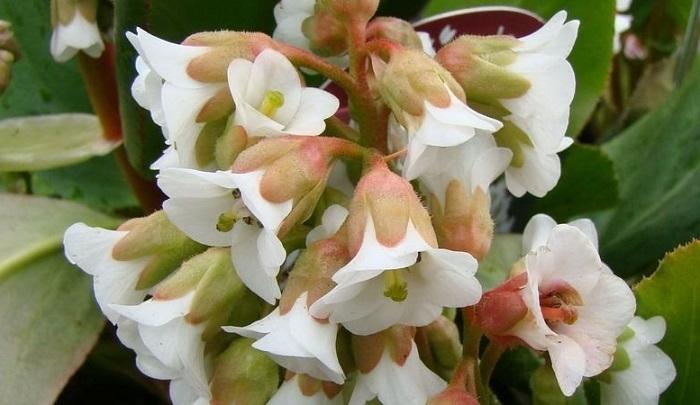 white bergenia