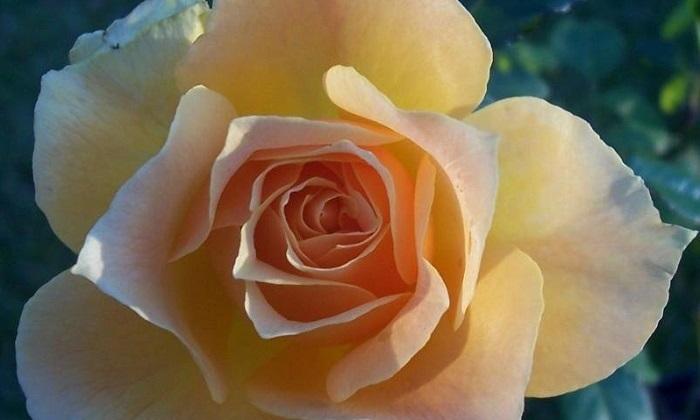 Easy Going rose